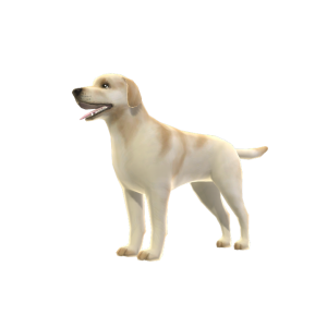 Yellow Labrador - Pal