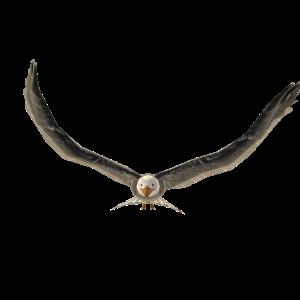 Bald Eagle Pet