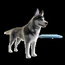 Husky - Frisbee