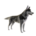 Husky - Tricks